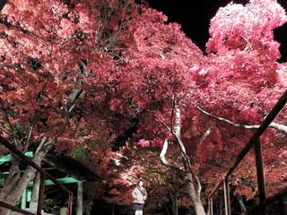 中野もみじ山2015 鮮やかな紅葉